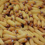corn-501441_960_720